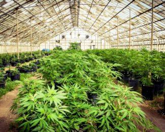 marijuana_farm_02_816x544
