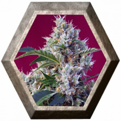 Indigo Berry Kush 3 semillas Sweet Seeds
