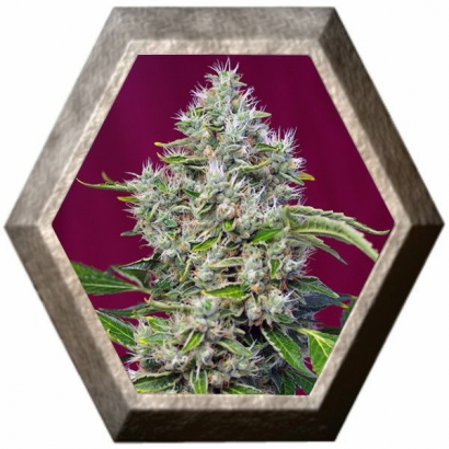 San Fernando Lemon Kush 3 semillas Sweet Seeds