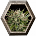 Blue Cheese 1 semilla Dinafem Seeds