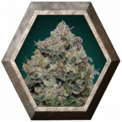 Northern Lights 5 semillas 00 Seeds Bank 00 SEEDS BANK 00 SEEDS BANK