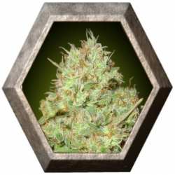 Shark Widow 1 semilla Advanced Seeds ADVANCED SEEDS ADVANCED SEEDS
