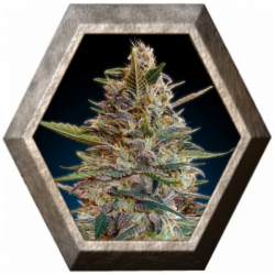 Auto Blue Diesel 1 semilla Advanced Seeds ADVANCED SEEDS ADVANCED SEEDS