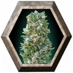 Auto Heavy Bud 1 semilla Advanced Seeds ADVANCED SEEDS ADVANCED SEEDS