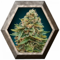 Auto Skunk 47 1 semilla Advanced Seeds ADVANCED SEEDS ADVANCED SEEDS