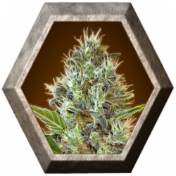 Auto Somango 1 semilla Advanced Seeds ADVANCED SEEDS ADVANCED SEEDS