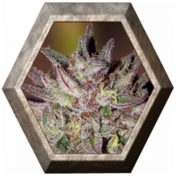 CBD Critical Cure 1 semilla Barney's Farm Seeds BARNEY´S FARM SEEDS  BARNEY´S FARM