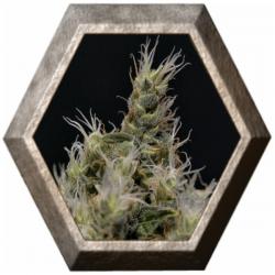 Vanilla Haze 1 semilla CBD Medical Seeds CBD SEEDS CBD SEEDS