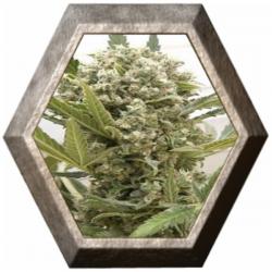 La Katana 3 semillas Elite Seeds ELITE SEEDS ELITE SEEDS