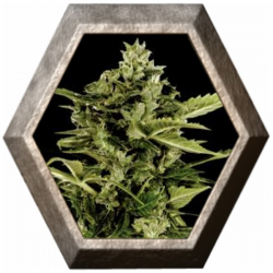 Auto Bomb 1 semilla Green House Seeds