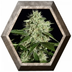 NL Automatic 3 semillas Green House Seeds