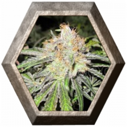 Deep Neville Regular 10 semillas Medical Seeds