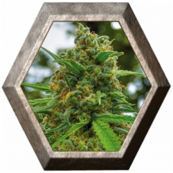 Grapefruit 5 semillas Positronic Seeds