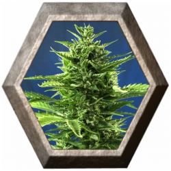 Jack Diesel Express 5 semillas Positronic Seeds