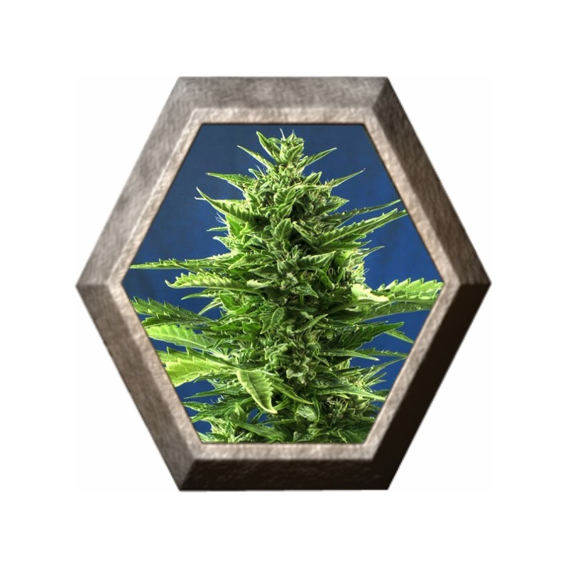 Jack Diesel Express 5 semillas Positronic Seeds POSITRONIC SEEDS POSITRONICS SEEDS
