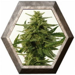 Northern Haze Express 5 semillas Positronic Seeds