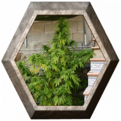 High Ryder Auto Super Big 1 semilla Xtreme Seeds XTREME SEEDS XTREME SEEDS