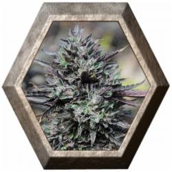 Purple Trainwreck 3 semillas Humboldt Seeds