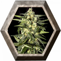 Jack Herer Auto 3 semillas Green House Seeds