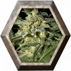 White Widow Auto 1 semilla Green House Seeds