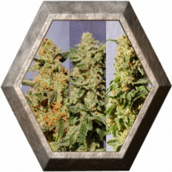 Crystal Mix 9 semillas Kannabia seeds KANNABIA KANNABIA