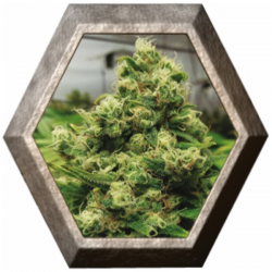 CBD Black Widow 1 semilla Positronic Seeds