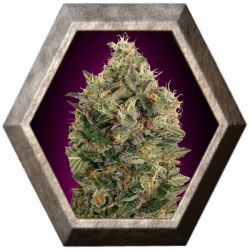 Auto Black Diesel 1 semilla Advanced Seeds ADVANCED SEEDS ADVANCED SEEDS