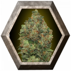 Auto Critical Soma 1 semilla Advanced Seeds ADVANCED SEEDS ADVANCED SEEDS