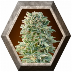 Auto Jack Herer 1 semilla Advanced Seeds ADVANCED SEEDS ADVANCED SEEDS
