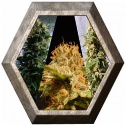 Outdoor Mix 9 semillas Kannabia seeds KANNABIA KANNABIA