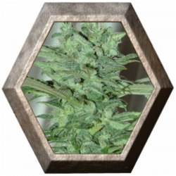 The Kali 5 semillas Big Buddha Seeds