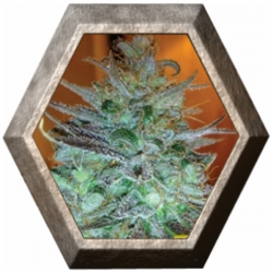Sour Chiesel 5 semillas Big Buddha Seeds