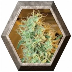 Silver Cheese 5 semillas Big Buddha Seeds