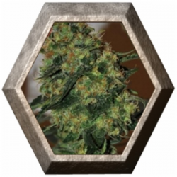 Chiesel Auto 5 semillas Big Buddha Seeds