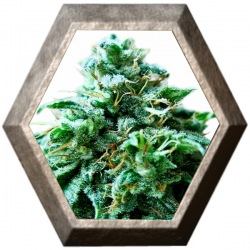 Super OG 3 semillas HeavyWeight Seeds HEAVYWEIGHT SEEDS HEAVYWEIGHT SEEDS