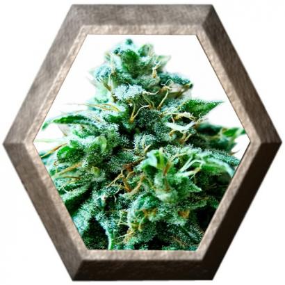Super OG 3 semillas HeavyWeight Seeds HEAVYWEIGHT SEEDS HEAVYWEIGHT SEEDS