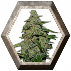 Lemon Cheesecake 3 semillas HeavyWeight Seeds HEAVYWEIGHT SEEDS HEAVYWEIGHT SEEDS