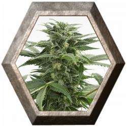 Haze Xxl Auto 1 semillas Dinafem Seeds