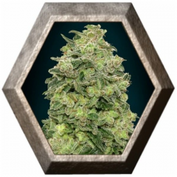 Auto Afghan Skunk 1 semilla Advanced Seeds ADVANCED SEEDS ADVANCED SEEDS