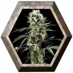 Super Lemon Haze 1 semilla Green House Seeds