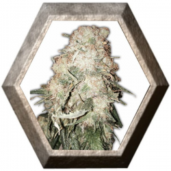 Gold Mine 3 semillas HeavyWeight Seeds HEAVYWEIGHT SEEDS HEAVYWEIGHT SEEDS