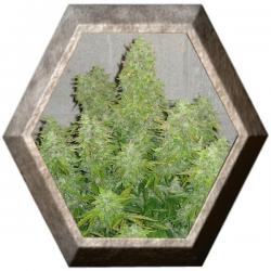 Maxi Gom Auto 1 semilla Grass O Matic Seeds GRASSOMATIC GRASS O MATIC SEEDS