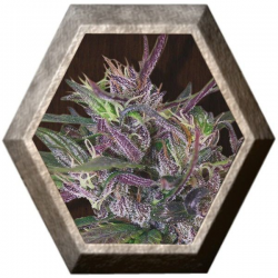 Oldtimer´s Haze Regular 5 semillas Ace Seeds ACE SEEDS ACE SEEDS