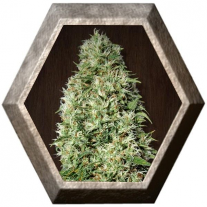 Orient Express regular 5 semillas Ace Seeds