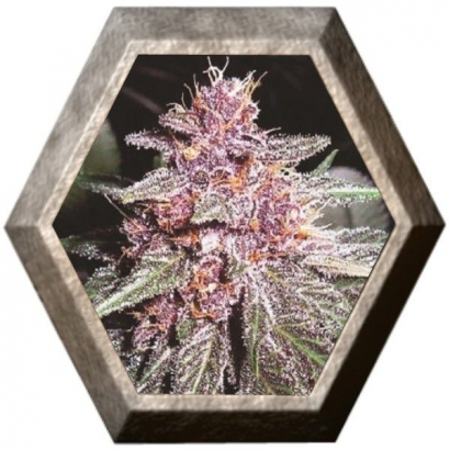 Violeta regular 5 semillas Ace Seeds