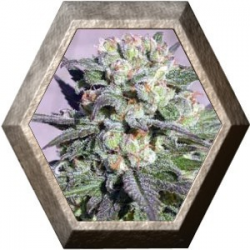 Warlock Regular 11 semillas Serius Seeds