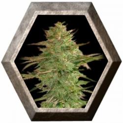Llimonet Haze CBD 3 semillas Elite Seeds ELITE SEEDS ELITE SEEDS