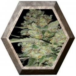 Auto Critical 1 semilla Exclusive Seeds EXCLUSIVE SEEDS EXCLUSIVE SEEDS