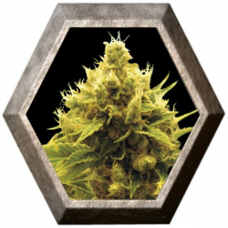 Cheese x Critical 1 semilla Exclusive Seeds EXCLUSIVE SEEDS EXCLUSIVE SEEDS