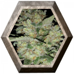 Critical Exclusive 1 semilla Exclusive Seeds EXCLUSIVE SEEDS EXCLUSIVE SEEDS